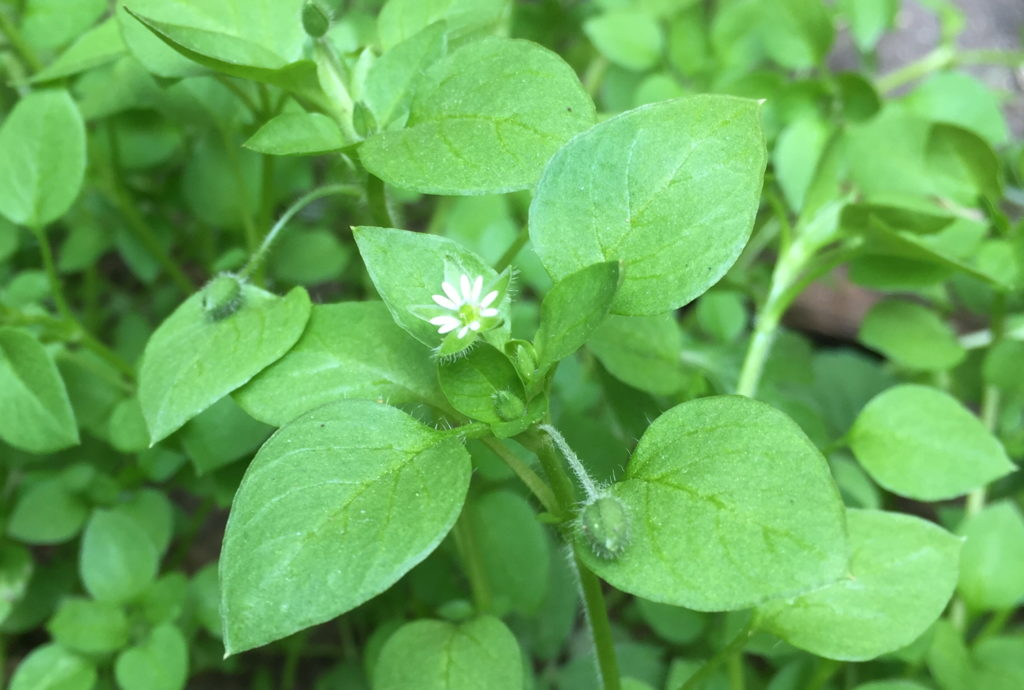 https://www.superfoodevolution.com/images/fresh-chickweed-plant.jpg