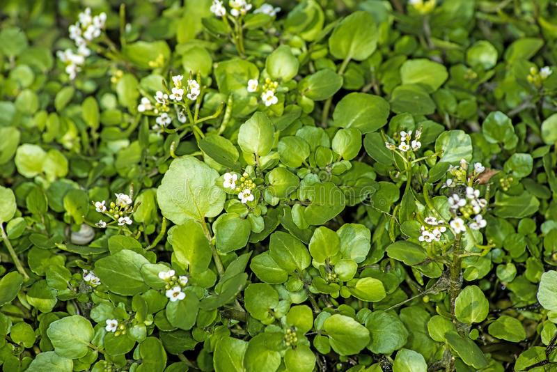 https://thumbs.dreamstime.com/b/water-cress-nasturtium-officinale-slad-medicinal-herb-43625566.jpg